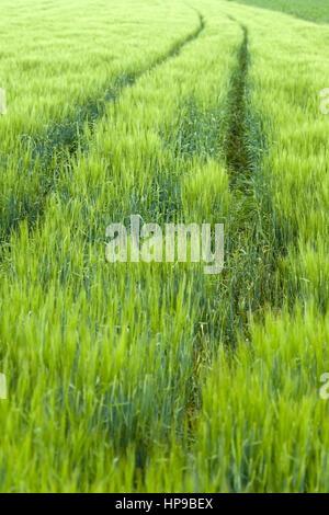 Gruenes Getreidefeld, Fruehsommer - green cornfield - Stock Photo