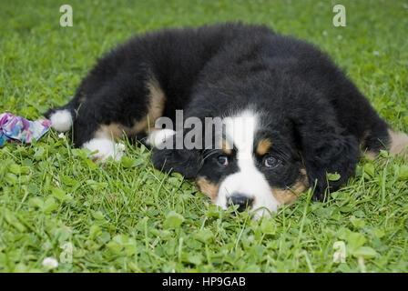 Berner Sennenhund, Welpe - Bernese cattle dog, puppy - Stock Photo