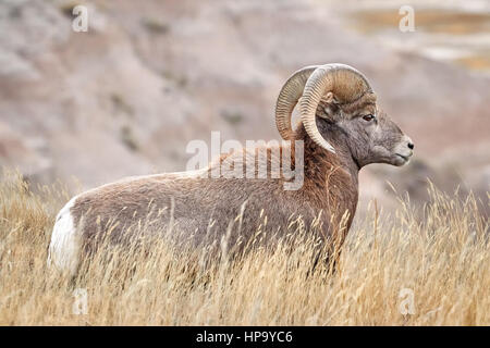 Bighorn Sheep with large curving horns in Badlands National Park, South Dakota, USA. - Stock Photo