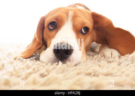 Sad dog on floor with big open eyes. Sick beagle  on carpet. Soft focus of dog with big ears on white background. - Stock Photo