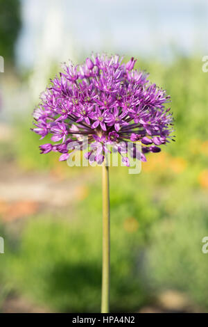 Allium in flower in an English garden - Stock Photo