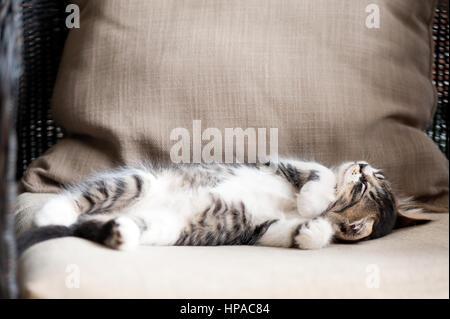 Tabby kitten lying on back,sleeping - Stock Photo
