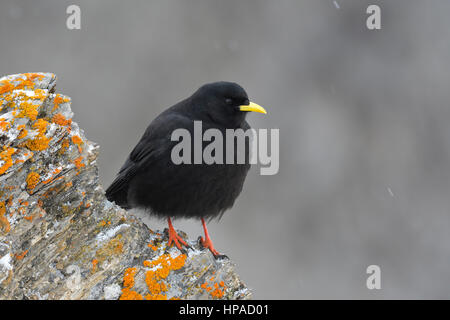 Alpine Chough (Pyrrhocorax graculus) on rock with lichen, Tyrol, Austria Stock Photo
