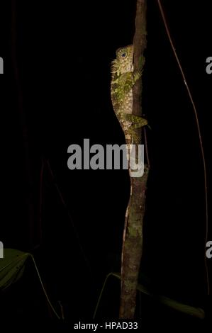 An adult male Blue-eyed Forest Lizard (Gonocephalus liogaster) in the forest at night in the Santubong Peninsula, - Stock Photo