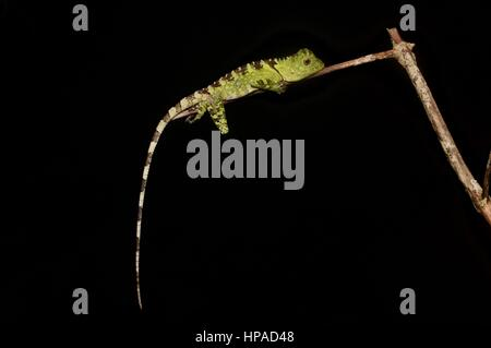 A Blue-eyed Forest Lizard (Gonocephalus liogaster) resting in the forest at night in the Santubong Peninsula, Sarawak, - Stock Photo