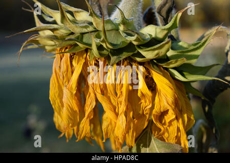 Closeup Detail of Wilted Giant Sunflower (Helianthus) Head - Stock Photo