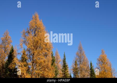 Tamarack (Larix laricina) and Black Spruce (Picea mariana) - Stock Photo