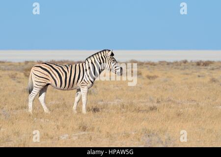 Burchell's zebra (Equus quagga burchellii), Etosha salt pan at back, Etosha National Park, Namibia, Africa - Stock Photo