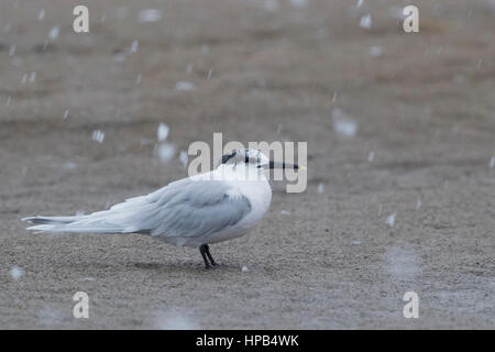 Sandwich Tern (Thalasseus sandvicensis), adult resting on the beach under a snowfall - Stock Photo