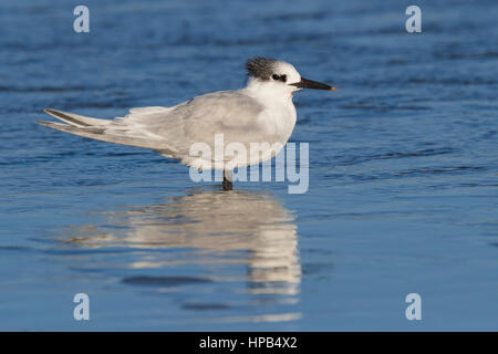 Sandwich Tern (Thalasseus sandvicensis), injured adult resting in shallow water - Stock Photo