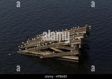 Gulls resting on a groyne in the Vltava river in Prague Czech Republic - Stock Photo