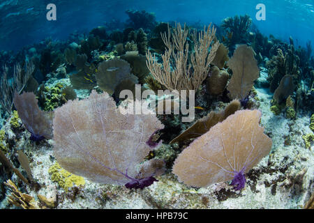 A healthy coral reef grows off the coast of Belize in the Caribbean Sea. - Stock Photo