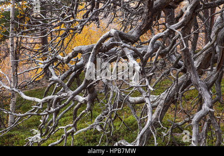 A fallen tree with branches and twigs on the ground. On the taiga. - Stock Photo