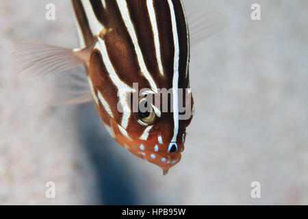 Sixstriped soapfish (Grammistes sexlineatus) underwater in the tropical coral reef of the red sea