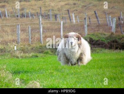 Sheep on Icelandic farm. - Stock Photo