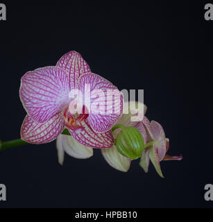 Close up of stem of pink and white phalaenopsis orchid flowers with one bud against a black background. Shallow - Stock Photo