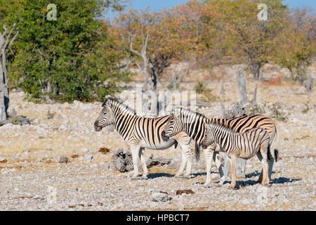 Burchell's zebras (Equus quagga burchellii), adult male and female with foal on stony ground, Etosha National Park, - Stock Photo