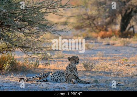 Cheetah (Acinonyx jubatus), female, lying in the shade of a tree, attentive, Etosha National Park, Namibia, Africa - Stock Photo