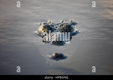 A stealthy American crocodile lies just under the surface of a lagoon off the coast of Belize. These large carnivores - Stock Photo