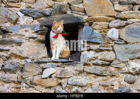 White and ginger cat with red collar looking out of dark stone barn - Stock Photo