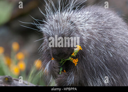 Porcupine on dead log eating yellow flowers and grass - Stock Photo