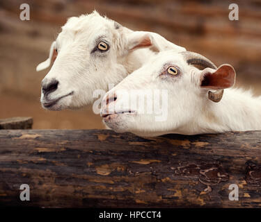 Close-Up Of White Goats - Stock Photo