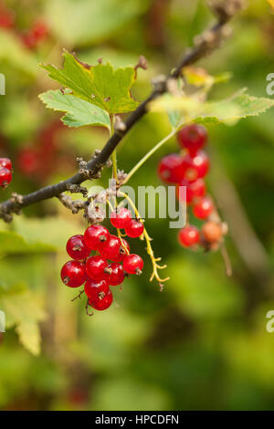 Red currant in a garden. - Stock Photo