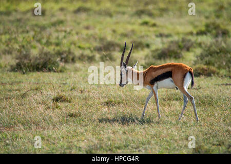 Wild Thompson's gazelle or Eudorcas thomsonii roams in savanna - Stock Photo
