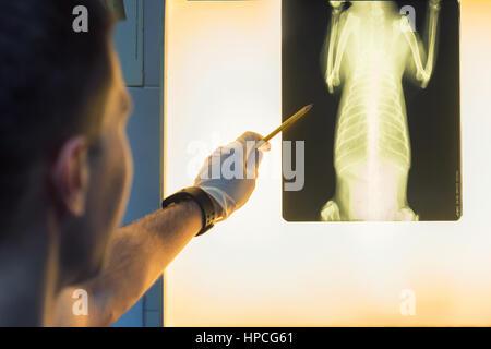 Veterinary doctor examining pet radiograph - Stock Photo