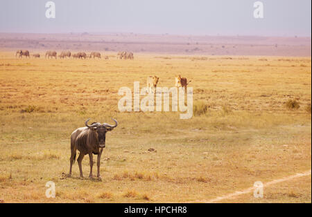Two lions trailing an old blue wildebeest breaking a herd at Kenyan savanna, Africa - Stock Photo