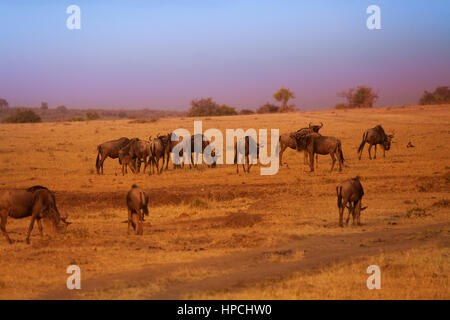 Big herd of blue wildebeests after evening rain in Masai Mara during the Great Migration, Kenya, Africa - Stock Photo