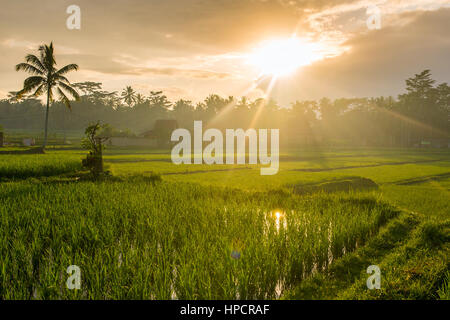 Terrace rice fields on a sunny day, Bali, Indonesia. - Stock Photo
