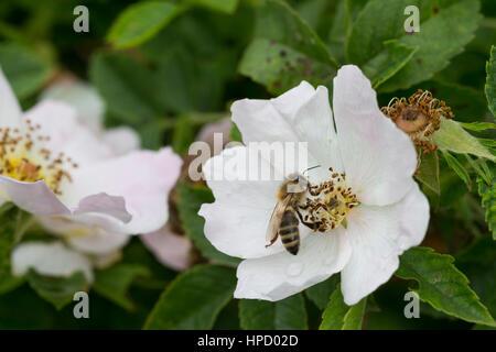Honigbiene, Honig-Biene, Biene, Bienen, Apis mellifera, Apis mellifica, Blütenbesuch auf Wildrose, Rose, Heckenrose, - Stock Photo