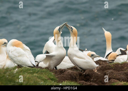 Northern gannet (Morus bassanus) Troup Head, Scotland - Stock Photo
