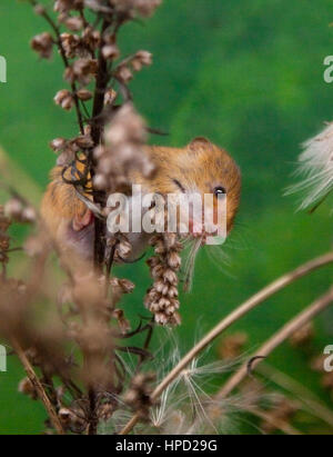 Harvest Mouse (micromys minutus) - Stock Photo