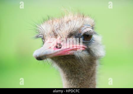 Portrait of ostrich (Struthio camelus) in captivity, Spain. - Stock Photo
