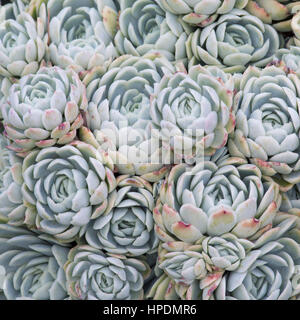 Christchurch, Canterbury, New Zealand. Tightly packed rosettes of Echeveria elegans on display in Christchurch Botanic - Stock Photo