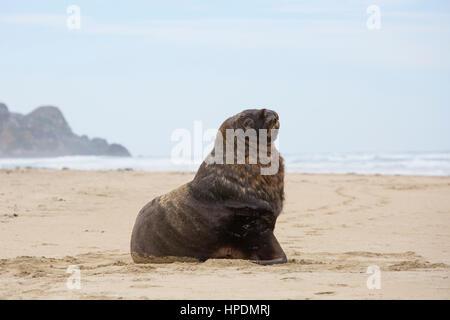 Pounawea, Catlins Conservation Area, Otago, New Zealand. Adult male New Zealand sea lion (Phocarctos hookeri) on - Stock Photo