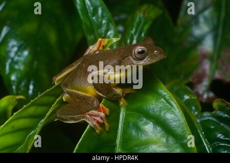 A Twin-spotted Flying Frog (Rhacophorus bipunctatus) in the rainforest at night in Genting Highlands, Pahang, Malaysia - Stock Photo