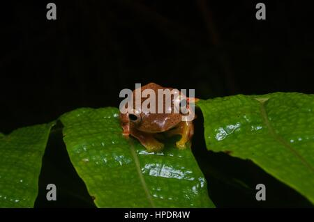 A Twin-spotted Flying Frog (Rhacophorus bipunctatus) in the rainforest at night in Fraser's Hill, Pahang, Malaysia - Stock Photo