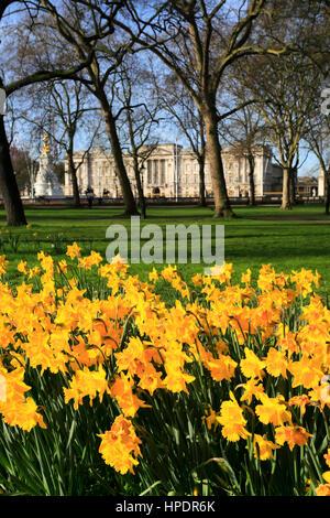 Spring Daffodils, frontage of Buckingham Palace, St James, London, England, UK - Stock Photo