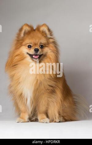 Auburn smiling dog breed in the studio Spitz - Stock Photo