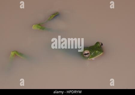 A Wallace's Flying Frog (Rhacophorus nigropalmatus) floating in a puddle at night in Malaysia - Stock Photo