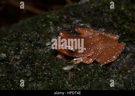A Cinnamon Frog (Theloderma pictum) in the rainforest at night in Semenyih, Selangor, Malaysia - Stock Photo