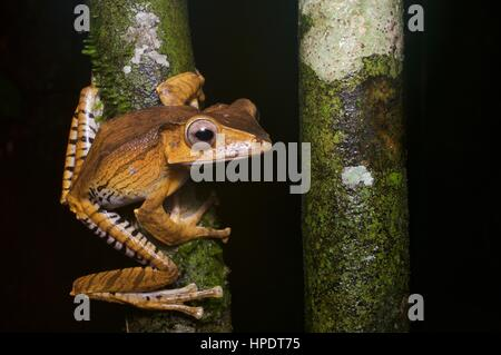 A File-eared Tree Frog (Polypedates otilophus) in the rainforest at night at Kubah National Park, Sarawak, East - Stock Photo