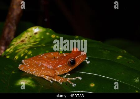 A Cinnamon Frog (Theloderma pictum) in the rainforest at night in Kubah National Park, Sarawak, East Malaysia, Borneo - Stock Photo