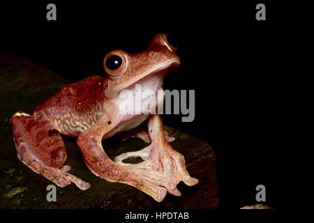 A Harlequin Flying Frog (Rhacophorus pardalis) in the rainforest at night in Kubah National Park, Sarawak, East - Stock Photo