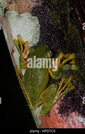 A Wallace's Flying Frog (Rhacophorus nigropalmatus) in the Malaysian rainforest at night - Stock Photo