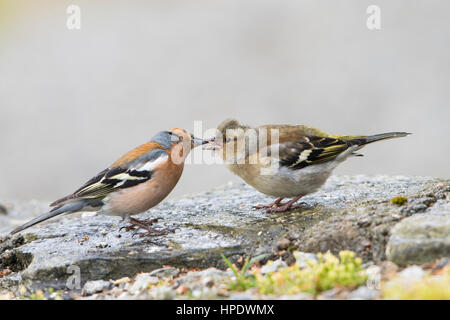 An adult male Chaffinch feeds a recently fledged young bird, Ardnamurchan, Scotland, UK - Stock Photo