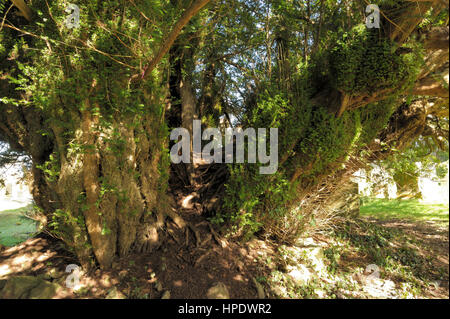Yew, Taxus baccata, Thought to be over 5000 years old at Defynnog - Stock Photo